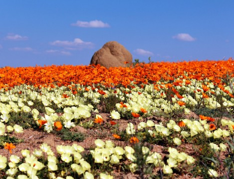 SA-Namaqualand-Springbok Atlas-wildflowers 4