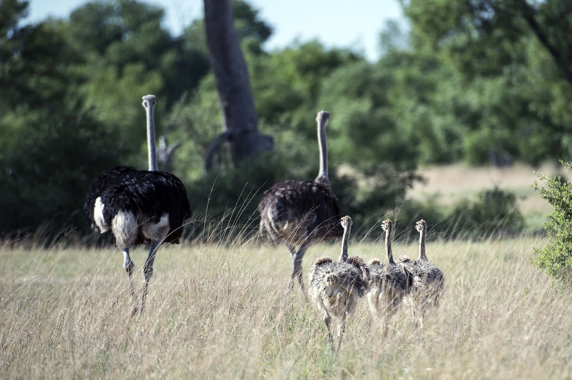 ZIM-Hwange-Wilderness-ostrich